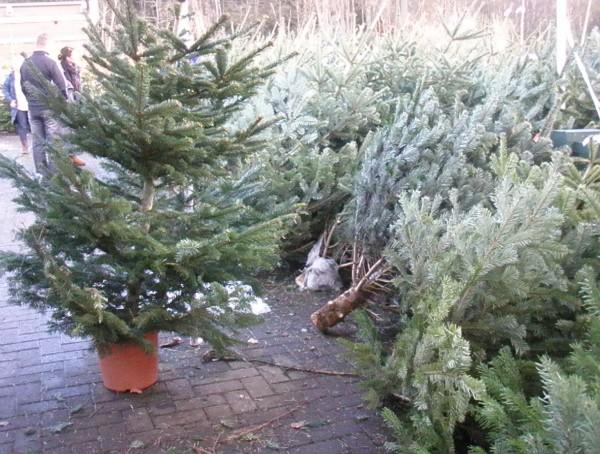 Tuod-tuod nga Christmas tree