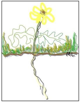 Ang dandelion weed nga may malabug nga gamot.