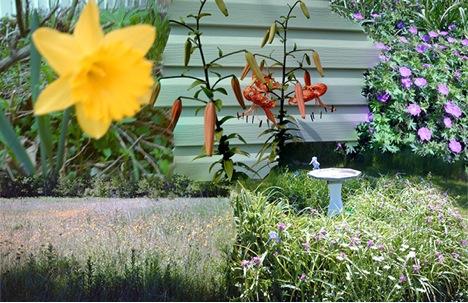 Daffodil, Asiatic Lily, Hardy Hibiscus,  Pink/Purple Wall,  Shrubs, Daisy, Iris