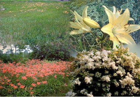 Dandelion, Asiatic Lily, Sun Lily, White Rose Bush, kag mga hilamon sa akun hardin.