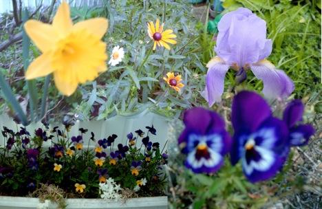 Daffodil/Daisy/Sweet cone flower/ Iris/Johnny Jump Up/Pansy
