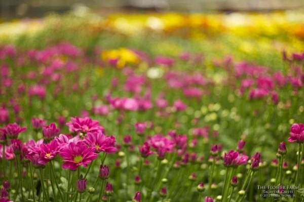 """The Flower Farm,"" Bobby Wong, Jr. /www.postcardsfrommanila.com"